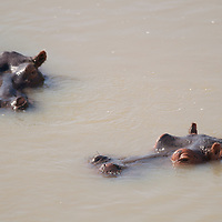 Hippopotamus, Hippopotamus, South Luangwa National Park, Zambia.