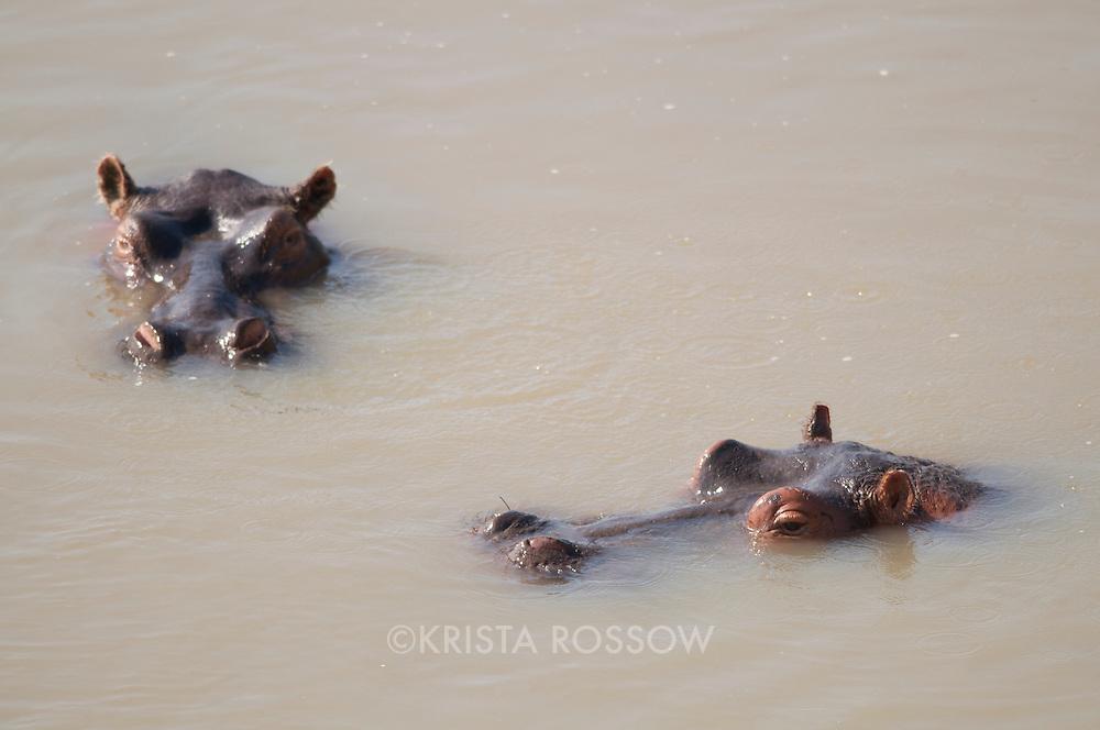 Hippopotamus, Hippopotamus, South Luangwa National Park, Zambia.