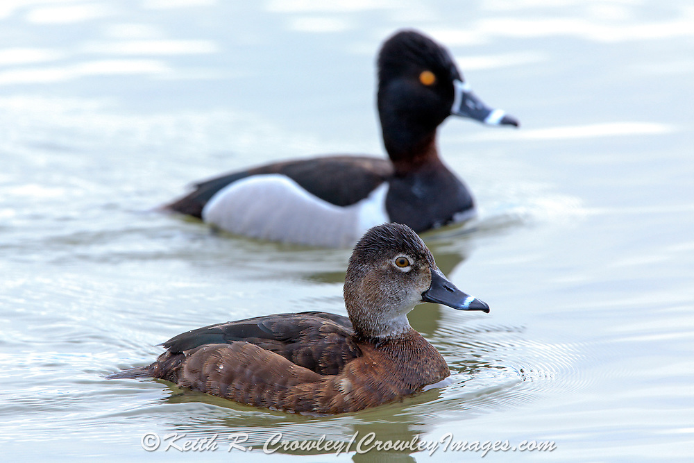 Hen and Drake Ringnecked Ducks in Breeding Plumage