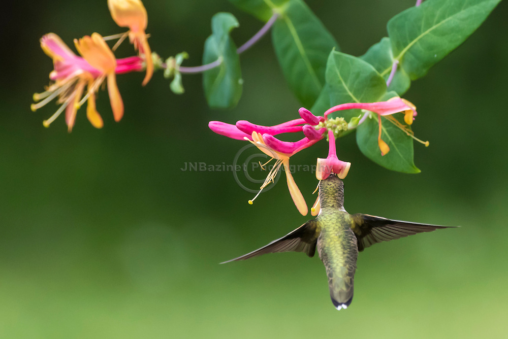 Female Hummingbird feeds on Honeysuckle flower