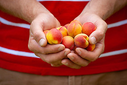 A handful of harvested apricots - Prunus armeniaca