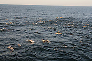 Long-beaked common dolphins (Delphinus capensis) leap into air at sunset, Sea of Cortez, Gulf of California, Mexico
