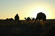 Israel, Negev plains, A silhouette herd of camels at sunset