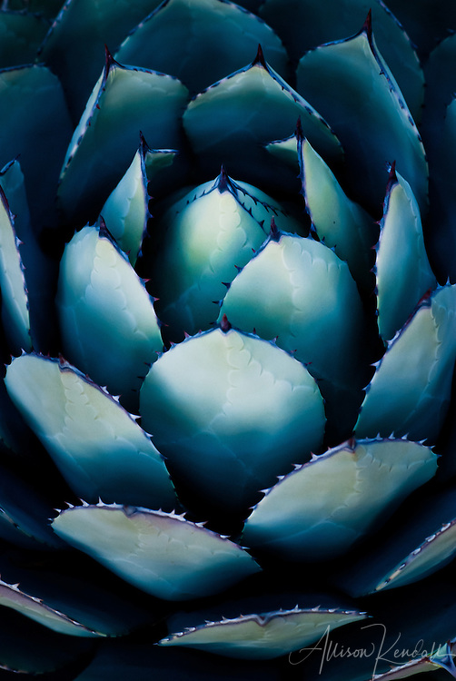 Blue and green silvery agave leaves in desert sunset light