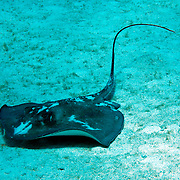 Southern Stingray inhabit sandy areas, lie on bottom often covered with sand in Tropical West Atlantic; picture taken Grand Cayman.