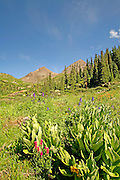 Wildflowers in Yankee Boy Basin San Juan Mountains Colorado