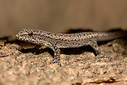 Dwarf gecko (Lygodactylus sp.) from Atsirabe, eastern Madagascar.