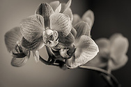 Close up of orchid flower in monochrome.