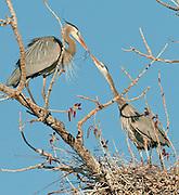 Great Blue Heron (Ardea herodias)Great Blue Heron (Ardea herodias)