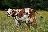 07/06/09 - LIVRADOIS - PUY DE DOME - FRANCE - Vache Normande - Photo Jerome CHABANNE