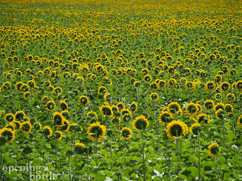 Sunflowers grow in profusion in a field south of Cordoba (Andalucia), Spain.