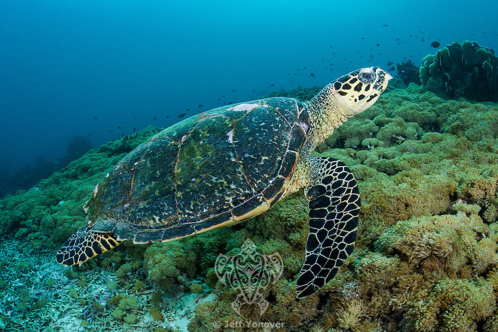 A Hawskbill Sea Turtle fins over a bed of soft corals in search of a tasty morsel<br /> <br /> Shot in Indonesia