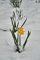 Lonely daffodil with snow in April -- Winter is not gone. Image taken with a Leica TL2  camera and 60 mm f/2.8 lens (ISO 100, 60 mm, f/6.3, 1/400 sec).