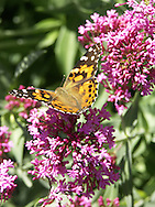 Butterfly Flowers - Lilacs - Washington