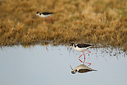 Stock photo of black-necked stilt captured in Weld County, Colorado.   Stilts have proportionately the longest legs of any North American bird.