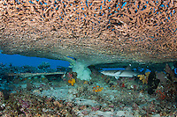 A Juvenile Whitetip Reef Shark hides under a large table coral<br /> <br /> Shot in Indonesia