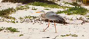 A great blue heron (ardea herodias) on the sandy beach of Floreana Island, Galapagos Archipelago - Ecuador.