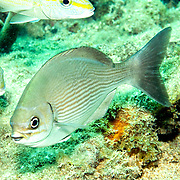 Brassy Chub inhabit reefs and adjacent areas in Tropical West Atlantic, also circumtropical; picture taken  Key Largo, FL.
