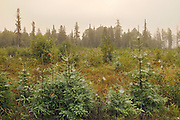 Spider webs on young spruce trees in morning fog<br /> Ear Falls<br /> Ontario<br /> Canada