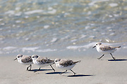Flock of Sanderlings, Calidris alba, wading shorebirds, on the beach shoreline at Captiva Island, Florida USA