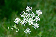 ROUGH CHERVIL Chaerophyllum temulum (Apiaceae) Height to 1m. Biennial with solid, ridged, bristly and purple-spotted stems. Similar to both Cow Parsley and Upright Hedge-parsley. Favours hedges and verges. FLOWERS are white; borne in umbels up to 6cm across (Jun-Jul). FRUITS are elongate, tapering and ridged. LEAVES are 2- to 3-pinnate, hairy and dark green. STATUS-Common in England and Wales.