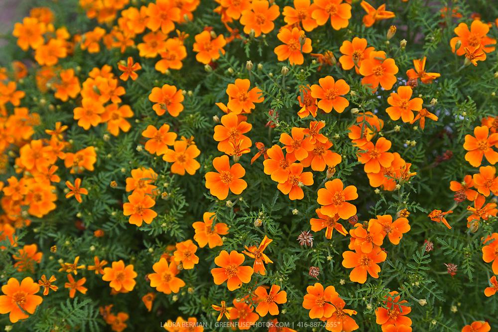 The edible orange flowers of Tangerine Gem Signet marigold (Tagetes tenuifolia 'Tangerine Gem').