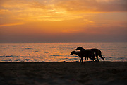 Silhouette of a Whippet dog running on the beach at sunset