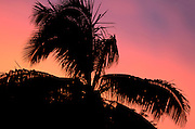 Palm trees silhouetted against sunset, Kadavu, Fiji.