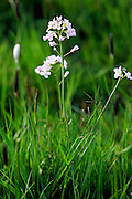 Cuckoo flowers growing among grass, Oxfordshire, England