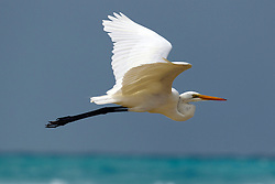 A Great Egret (Ardea alba) flying along the coast of Tortuga Bay, Galapagos Islands National Park, Santa Cruz Island, Galapagos, Ecuador