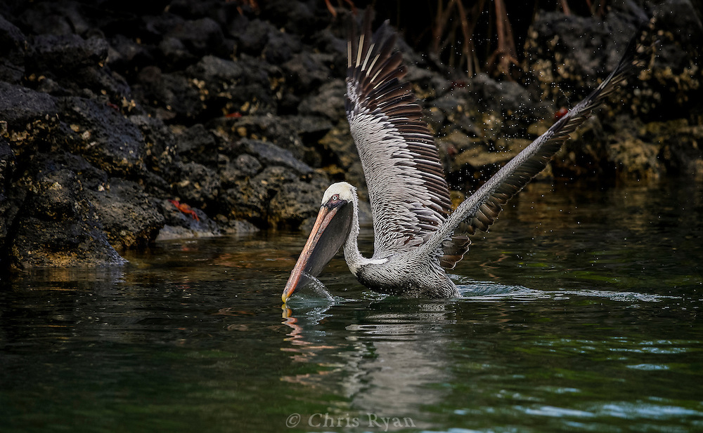 Brown pelican on takeoff, Galapagos