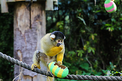 © Licensed to London News Pictures. 18/04/2019. London, UK. A black-capped squirrel monkey (Saimiri boliviensis)  joins in with the Easter fun by having an Easter egg hunt at London Zoo using the acrobatic skills to get at the tasty mealworms hanging from their treetop home. Photo credit: Dinendra Haria/LNP
