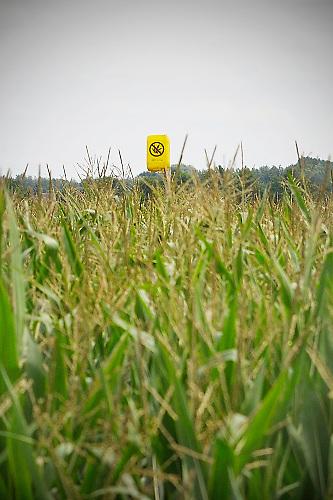 Nederland, Horst, 31-7-2017In een maisveld hangt een gele jerrycan op een stok om aan criminele henneptelers duidelijk te maken dat dit perceel regelmatig gecontroleerd wordt. Dit om te voorkomen dat in het veld wietplanten uitgezet worden. Vooral in Limburg en Brabant gebeurt dit.In a corn field is a jerry can on a stick to ame criminal hemp growers to make clear that this lot is regularly inspected. This is to prevent weed plants in the field are plotted.Foto: Flip Franssen