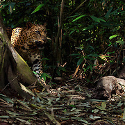 Wild Indochinese leopard (Panthera pardus delacouri) camera trapped in Kaeng Krachan National Park, thailand.