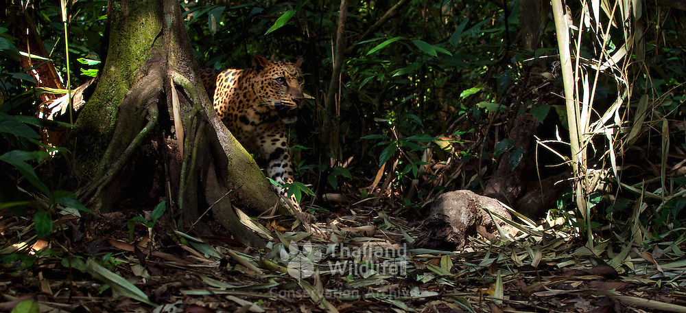 Wild Indochinese leopard (Panthera pardus delacouri)