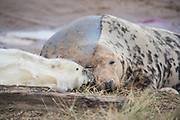 Donna Nook, Lincolnshire, UK – Nov 15: Cute fluffy newborn baby grey seal pup nuzzles against mother's nose as she rests on the mudflats on 15 Nov 2016 at Donna Nook Seal Santuary, Lincolnshire Wildlife Trust