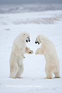 01874-11903 Polar Bears (Ursus maritimus) sparring / fighting in snow, Churchill Wildlife Management Area, Churchill, MB Canada