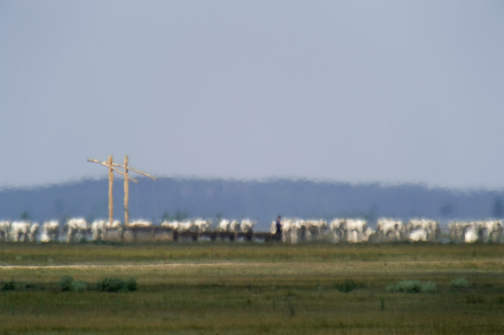 Hortobagy landscape with mirage (fata morgana) and Hungarian Grey Cattle in Hortobagy National Park, Hungary