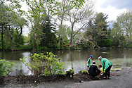 From left, Mitch Primola, Bryan Lowes, Lukas Ricciardi and Ileana Pendus of Yardley, Pennsylvanioa prepare to plant shrubs during a community cleanup of Lake Afton to provide some relief for the algae-plagued and mucky man made lake Saturday, May 6, 2017 at Lake Afton in Yardley, Pennsylvania. (WILLIAM THOMAS CAIN / For The Philadelphia Inquirer)