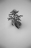 black and white close up of snow covered plants in Colorado