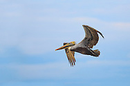 This Brown Pelican was out fishing off Mansita Beach in Guanacaste just after dawn. The soft light of the sun's first rays was perfect to illuminate every small detail of the bird's feathers.<br /> <br /> For sizes and pricing click on ADD TO CART (above).