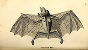 Spectre Bat from General zoology, or, Systematic natural history Part I, by Shaw, George, 1751-1813; Stephens, James Francis, 1792-1853; Heath, Charles, 1785-1848, engraver; Griffith, Mrs., engraver; Chappelow. Copperplate Printed in London in 1800. Probably the artists never saw a live specimen