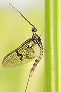 Male mayfly spinner (Ephemera danica?) on hemlock water dropwort. Nr. Ripley, Surrey, UK.