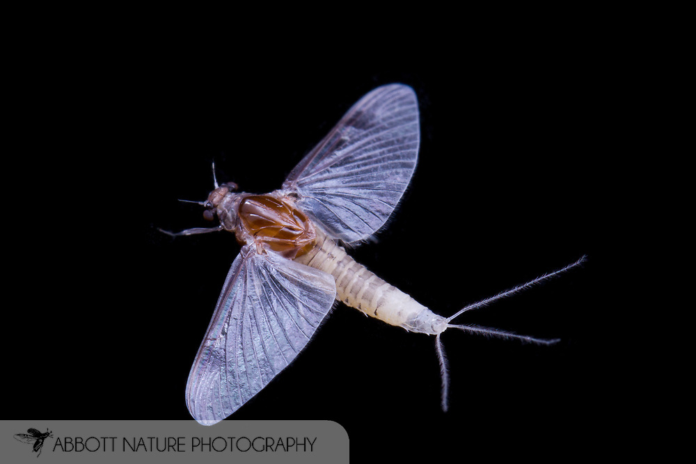 Small Squaregilled Mayfly (Caenis sp.)<br /> WISCONSIN: Columbia Co.<br /> 495 Tower Rd., Wyocena<br /> 43.48787, -89.30065  8-9-June-2014<br /> J.C. Abbott #2666 &amp; K.K. Abbott