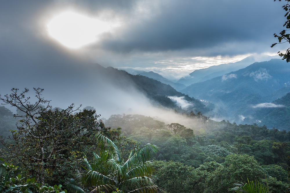 Early morning fog creeps over the top of the forest, Santa Lucia Cloud Forest, Ecuador.