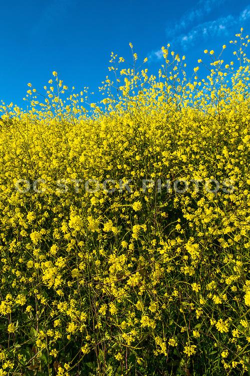Hillside of Mustard Plant