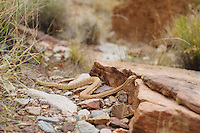 Rattlesnake in camp in the Grand Canyon National Park, AZ.