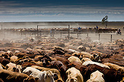 Brunette Downs Cattle Station is situated on the Barkley tablelands in Australia's Northern Territory. One of Australia's largest cattle stations..Drafting Cattle separating them into different areas of the yard.