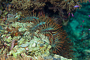 Acanthaster planci, commonly known as the crown-of-thorns starfish, is a large, multiple-armed starfish (or seastar) that usually preys upon hard, or stony, coral polyps (Scleractinia). The crown-of-thorns receives its name from venomous thorn-like spines that cover its upper surface. It is the second-largest sea star in the world...A. planci has a very wide Indo-Pacific distribution. It occurs at tropical and subtropical latitudes from the Red Sea and the east African coast across the Pacific Ocean, across the Indian Ocean to the west coast of Central America. It occurs where coral reefs or hard coral communities occur in this region..