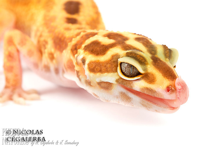 Gecko léopard, Eublepharis macularius